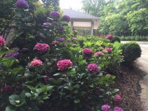 unique colored macrophylla hydrangeas in a landscape we design and installed and still maintain today
