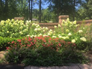 limelight hydrangeas in an entrance landscape planting